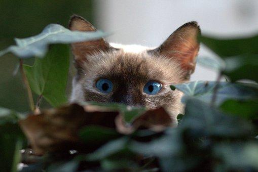 Burmese Cat, About, Hidden, Leaves