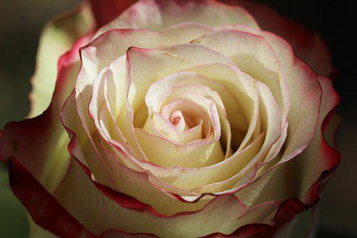 Pink, Love, Heart, Red, Flower, Form, Petals, Rosebush
