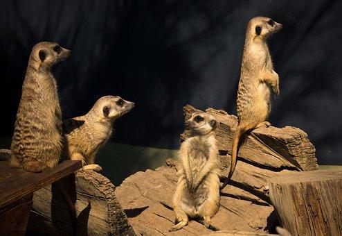 Meerkat, Africa, Curious, Conservation, Kalahari, Brown
