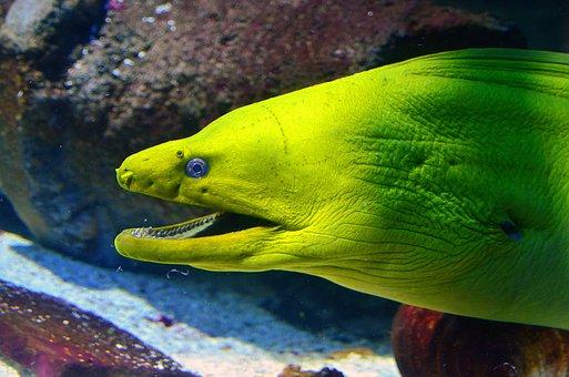 Moray Eel, Fish, Aquarium, Moray, Underwater, Eel, Sea