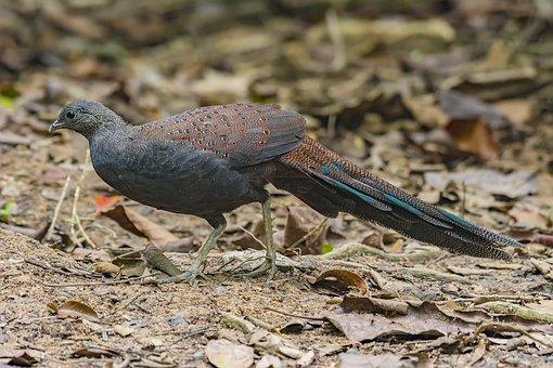 Bird, Malaysia Birds, Mountain Peacock Wild 鷄