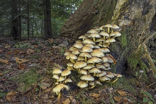 Mushrooms, Sulphur Heads, Mushroom Colony, Nature