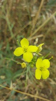 Brassica Juncea, Mustard Flower, Ankara Mamak