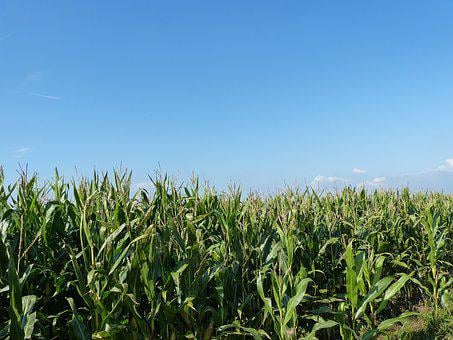 Field, Cornfield, Nature, Agriculture, Corn, Landscape
