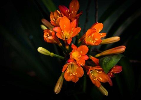 Flower, Shrub, Clivia, Nature, Garden, Plant, Floral