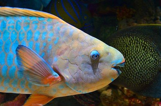 Parrot Fish, Fish, Underwater, Water, Sea, Ocean