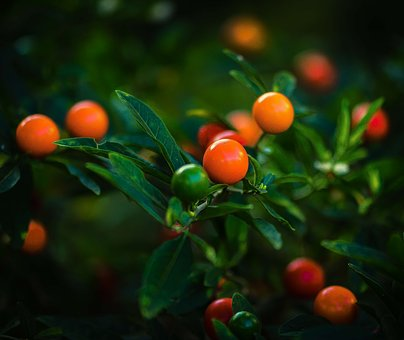 Berries, Colorful, Exotic, Garden, Season, Orange