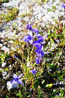 Ordinary Fransenenzian, Flower, Blossom, Bloom