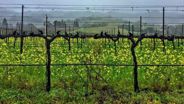 Vines, Mustard, Overcast, Spring