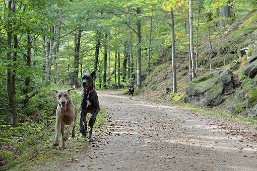 Running Dogs, Path, Forest