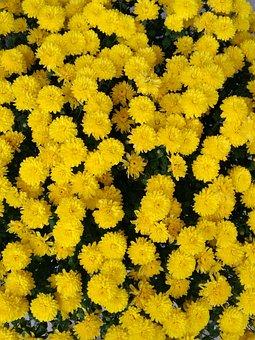 Yellow, Chrysanthemum, Pixar Bay
