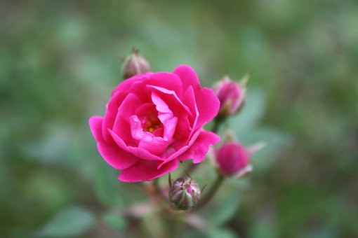 Rosa, Rosinha, Flower, Plant, Color Pink