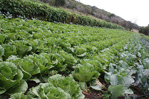 Plantation, Lettuce, Roça, Green