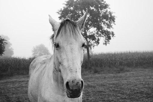 Horse, Photo Black White, Portrait Horse, Nature
