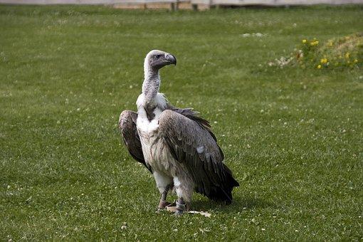Vulture, Bird, Raptor, Scavengers, Griffon Vulture