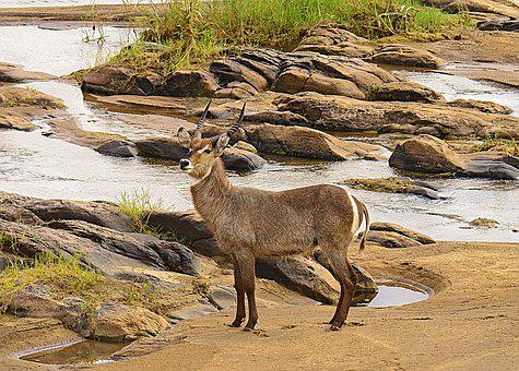 Waterbuck, Nature, Wildlife, Buck, Kruger, Savannah