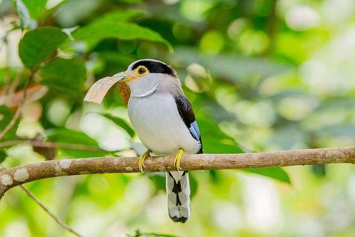 Bird, Malaysia Birds, Wide Mouth Bird