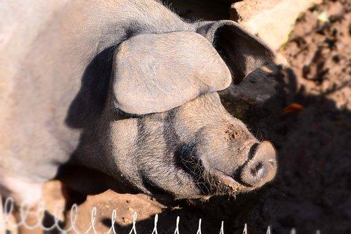 Boar, Animal, Nature, Wildlife Park, Pig, Wild Boar