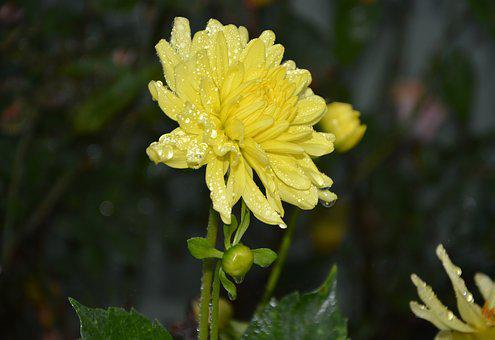 Yellow Flower, Petals Yellow, Droplets Of Water Rain