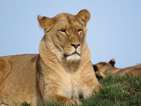 Lion, Animals, Predator, Zoo, Mammal, Nature, Lioness