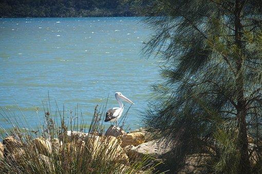 Pelican, River, Australia, Bird, Nature, Water