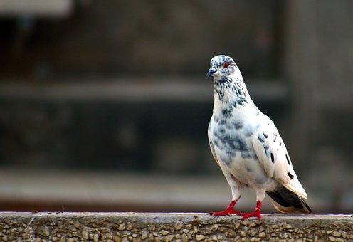 White Grey Pigeon, Domestic Pigeon, Bird, Cross-breed
