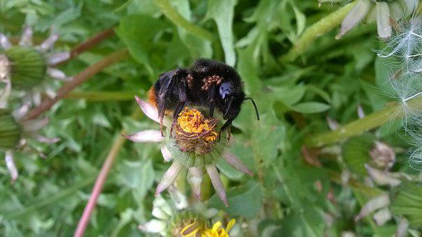Bumblebee, Bee, Mite, Nature, Insects, Pollination
