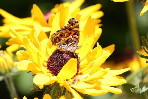 Butterfly, Butterfly Wings, American Lady, Flower