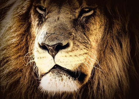 Lion, Portrait, Character, Majestic, Power, Looking