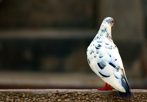 White Grey Pigeon, Domestic Pigeon, Bird