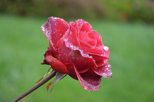 Flower, Red Rose, Droplets Of Rain, Red Flower Profile