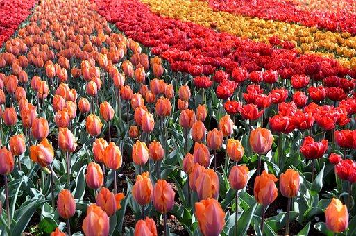 Tulip, Dutch, Garden, Decoration, Color, Natural