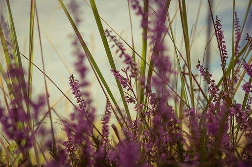 Lavender, Flowers, Violet, Purple, Plant, Blossom