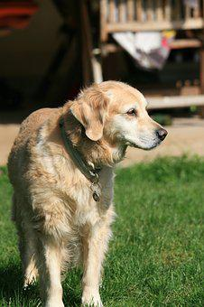 Golden Retriever, Dog, Pet, Animal, Animal Portrait