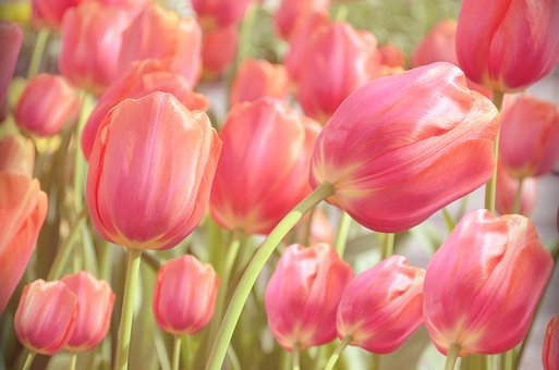 Tulip, Garden, Green, Nature, Spring, Freshness, Flora