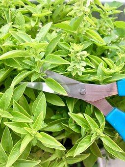 Basil, Herbs, Scissors, Green, Cooking, Seasoning