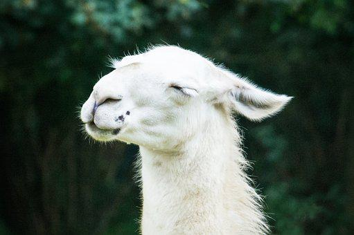 Lama, Animal, White, Cute, Nature, Animal Welfare