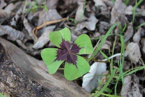 Lucky Clover, Four Leaf Clover, Symbol Of Good Luck