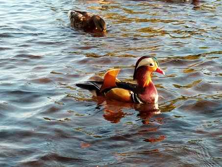 Mandarin Duck, Waterfowl, Colorful, Beautiful, Duck