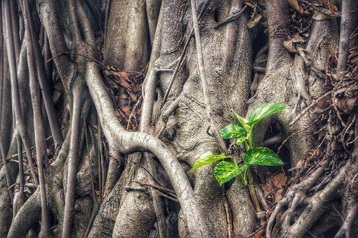 Epipremnum Aureum, Plant, Money Plant, Tree, Old, Green