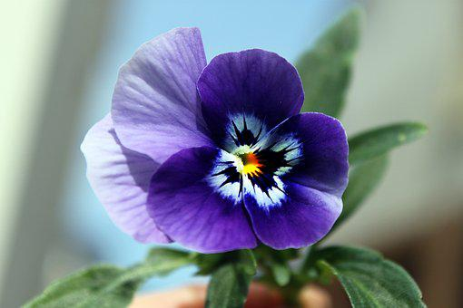 Pansy, Flower, Nature, Blooms