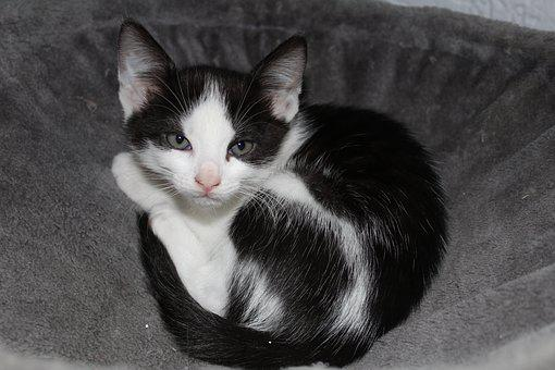 Cat, Pet, Black And White Cat, Young Cat