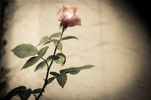 Rsoe, Flower, Vintage, Nostaligie, Spring, Pink