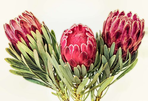 Protea, South Africa, Red, Flower, Plant, Floral