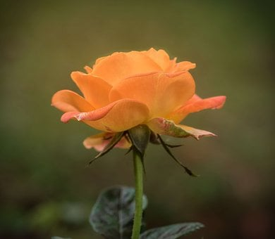 Rose, Single, Orange, Floral, Romantic, Anniversary