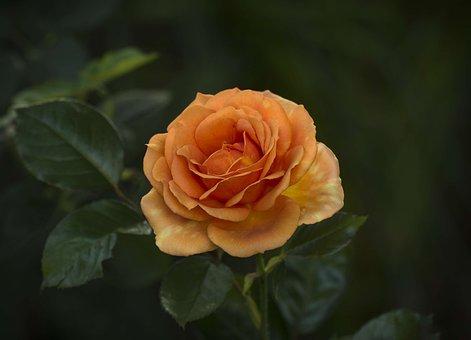 Rose, Petals, Orange, Bronze, Bloom, Decoration, Leaf