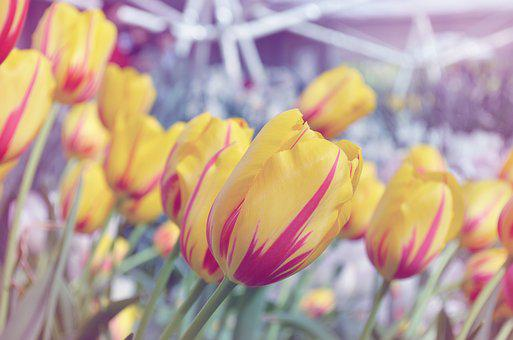 Tulip, Dreamy, Flower, Nature, Spring, Floral, Plant