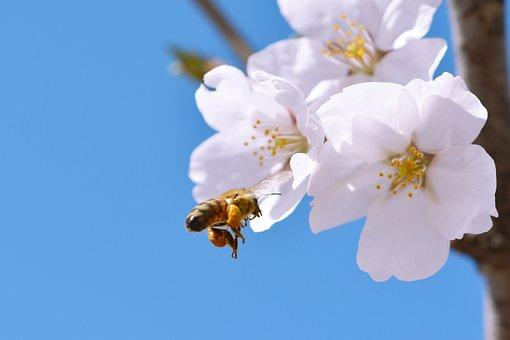 Cherry Blossom, Sakura, Spring Flowers, Flowers, Spring