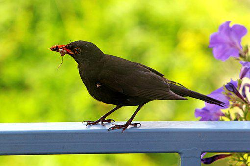 Summer, Balcony, Terrace, Bird, Blackbird, Closeup