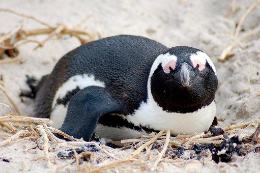 Jackass, Penguin, Africa, Wild, Wildlife, Nature
